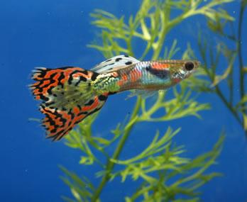 Welche fische zu guppys for Welche fische passen zu kois